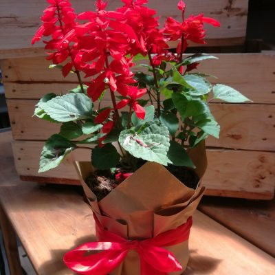 Salvia Dwarf Red