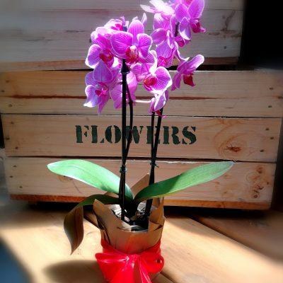Phalaenopsis -Moth Orchid
