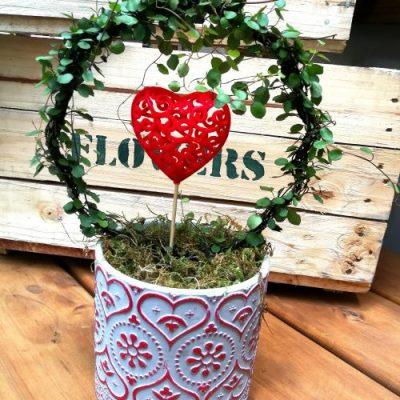 Muehlenbeckia Surrounding heart
