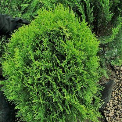 Platycladus Orientals