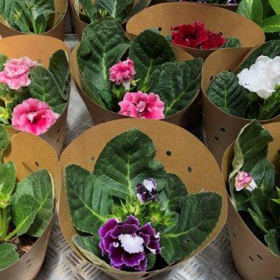 Gloxinia Variety