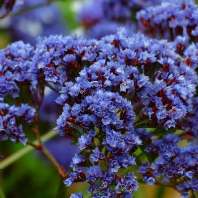 Limonium-Perezii-400x400 OUTDOOR PLANTS