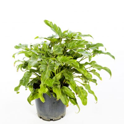 Philodendron-Xanadu-2-400x400 OUTDOOR PLANTS
