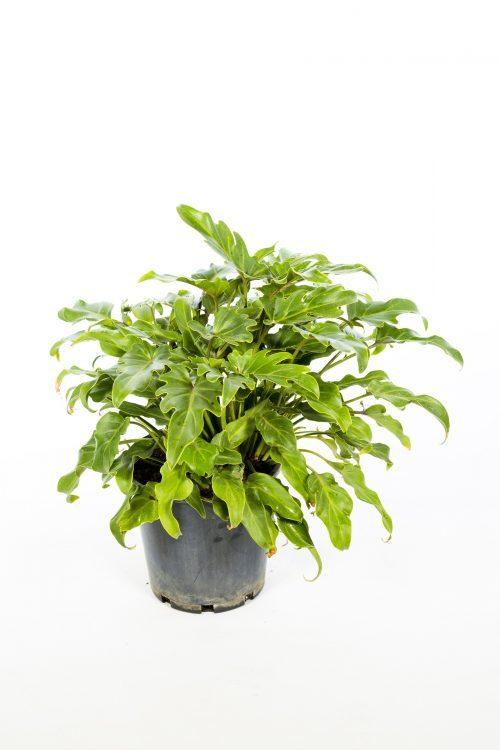 Philodendron Xanadu (2)
