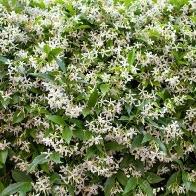 Trachelospermum Jasmina