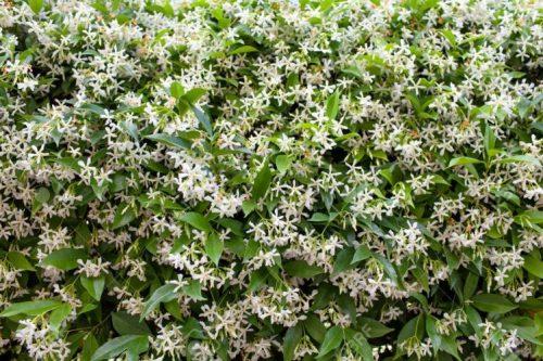 (Trachelospermum jasminoides)