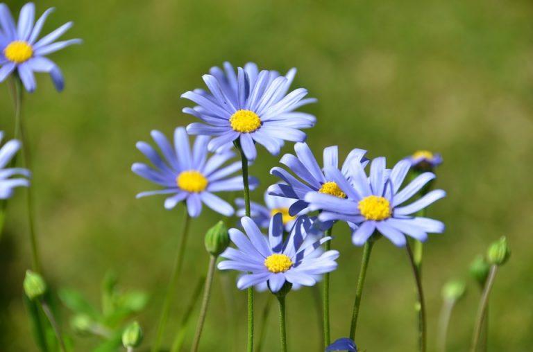 blue-felicia-daisy