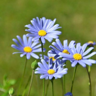 Felicia Amelloides Blue Daisy