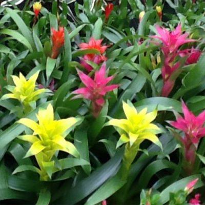 Bromelia Variety
