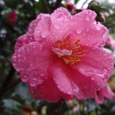 Camellia Japonica LT