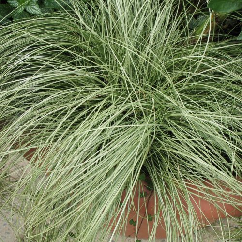 carex frosted.