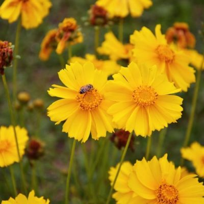 Coreopsis Cherry Pie