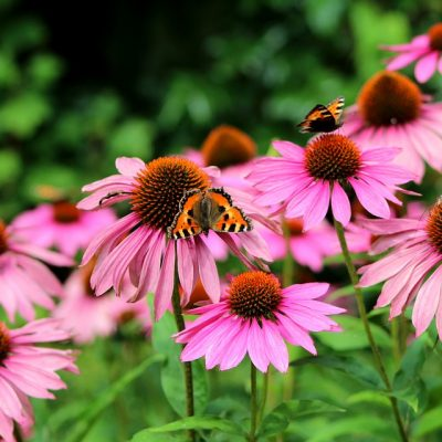 echinacea-purperea-3909760_960_720-400x400 OUTDOOR PLANTS