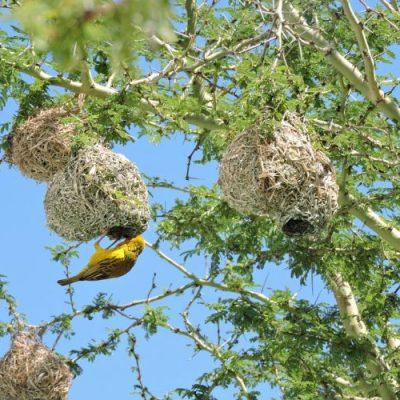 fever-tree-e1550650699683-400x400 OUTDOOR PLANTS