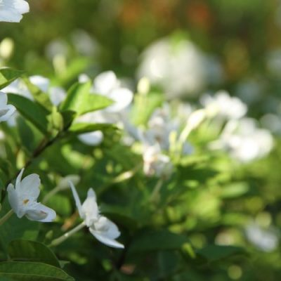 Gardenia Agusta 20l
