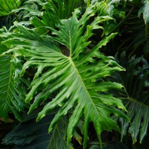Philodendron Hope 20l
