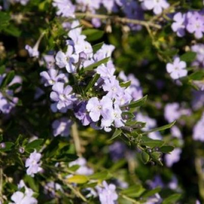 Freylinia Tropica Blue