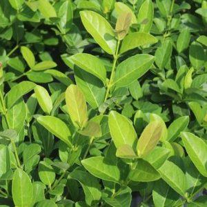 Viburnum Odoratissimum Sinensis