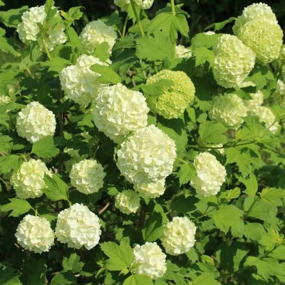 viburnum-opulus-400x400 OUTDOOR PLANTS