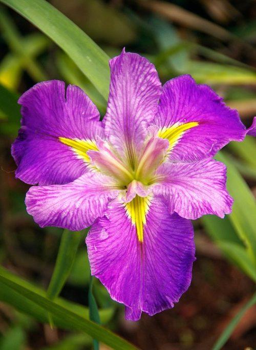 water-iris-426251_960_720