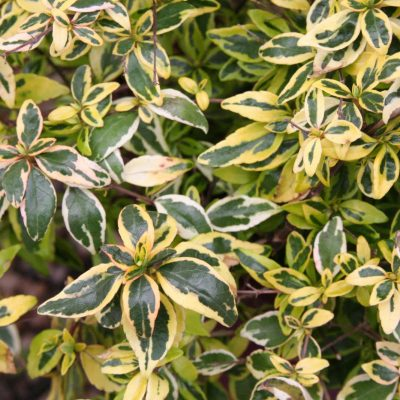 Abelia-Lemon-Lime-400x400 OUTDOOR PLANTS