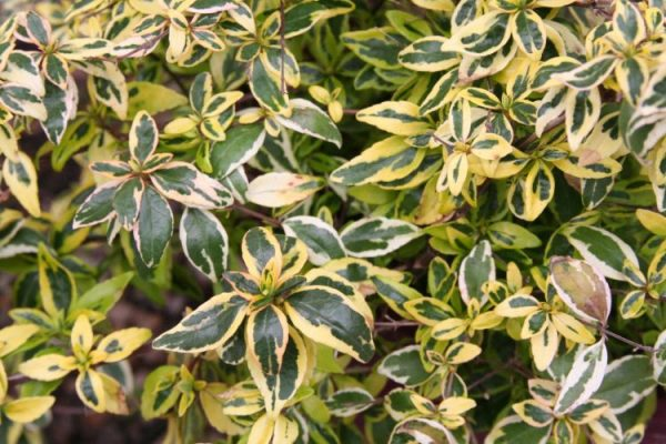 Abelia Lemon Lime