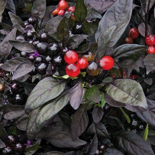 Capsicum Black Pearl