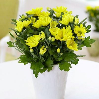 Chrysanthemum assorted colours