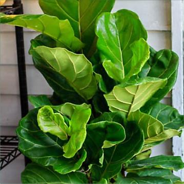 Ficus Lyrata 16.5cm