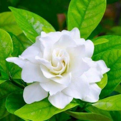 Gardenia Double Cover