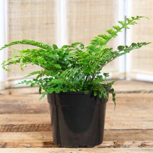 Mother Fern – Asplenium bulbiferum 14cm