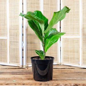 Fiddle Leaf Fig – Ficus lyrata 19cm