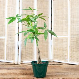 Money Tree Plant – Pachira aquatica 15cm