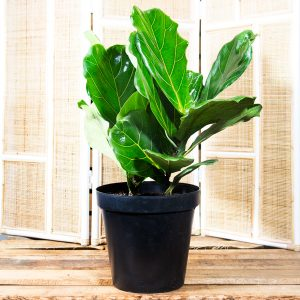 Fiddle leaf fig – Ficus lyrata 20cm pot