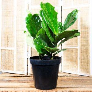 Fiddle leaf fig – Ficus lyrata 14cm pot