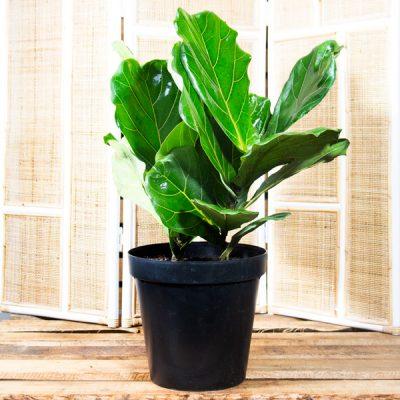 Fiddle leaf fig – Ficus lyrata 20cm pot