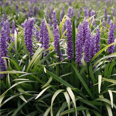 Liriope Muscari Purple Robe