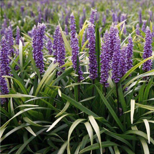 Liriope muscari Purple Robe