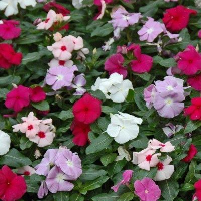 Vinca Assorted Colours