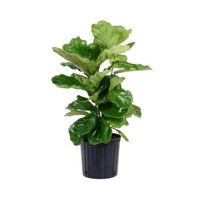 Ficus Lyrata 30cm