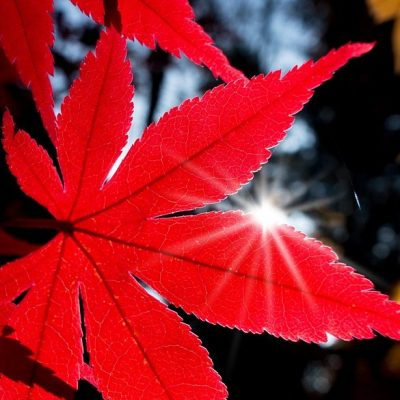 maple-japanese-e1552478416945-400x400 OUTDOOR PLANTS