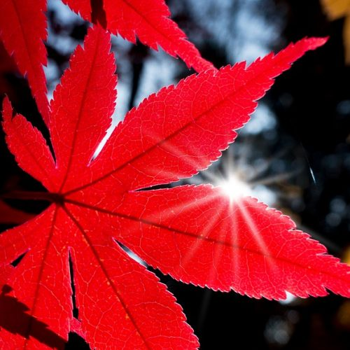 maple-japanese