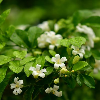 orange-jasmine-3951898_960_720-400x400 OUTDOOR PLANTS