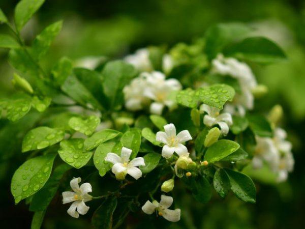 orange-jasmine-