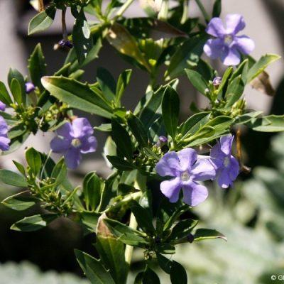 Freylinia Tropica Blue 5l