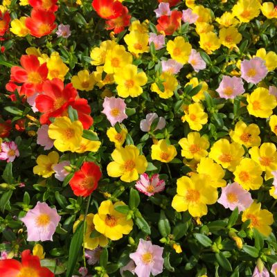 portulaca-1443288-400x400 OUTDOOR PLANTS
