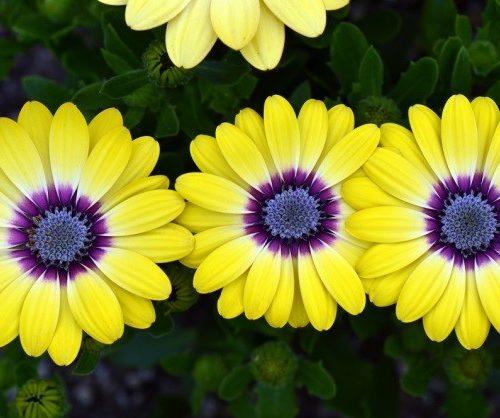 African-daisy-e1552984216624-500x418