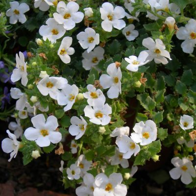 Bacopa-400x400 OUTDOOR PLANTS