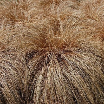Carex-comans-Bronze-400x400 OUTDOOR PLANTS