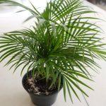 Chamaedorea (Bamboo palm)
